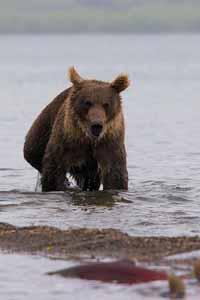 Камчатский бурый медведь (охота на лосося)