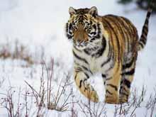 Уссурийский тигр